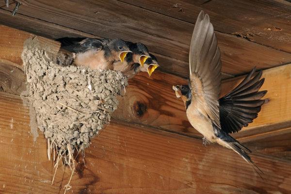 Bats nesting in attic space