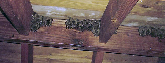 Bats nesting in attic space
